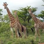The Gregarious Giraffe