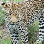 Experience the Thrill of the Big Five at Tangala